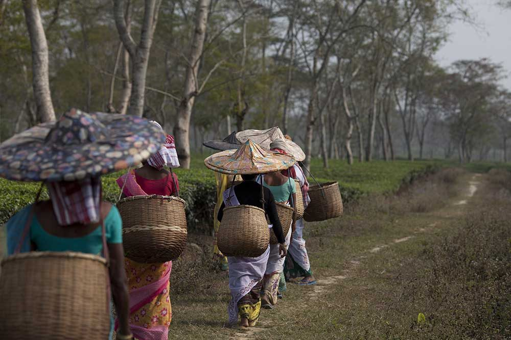 Assam is a key tea growing region – with tea communities making up nearly 20% of the state's population