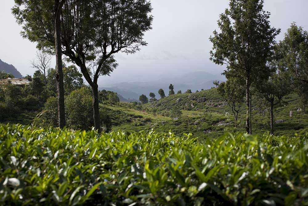 A tea estate in Sri Lanka