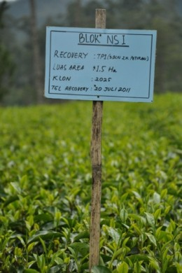 Tea bush nursery
