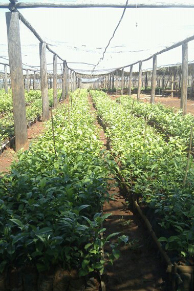 There is a need for many more tea seedlings in Malawi