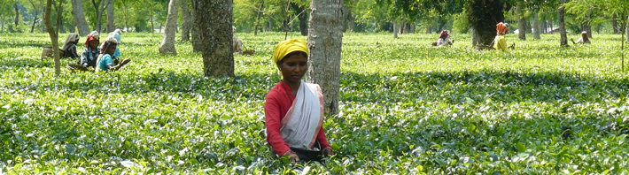 Tea workers in the field