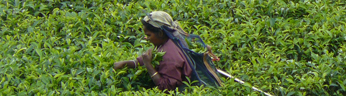 A tea worker in the field