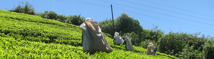 Tea workers on a hillside